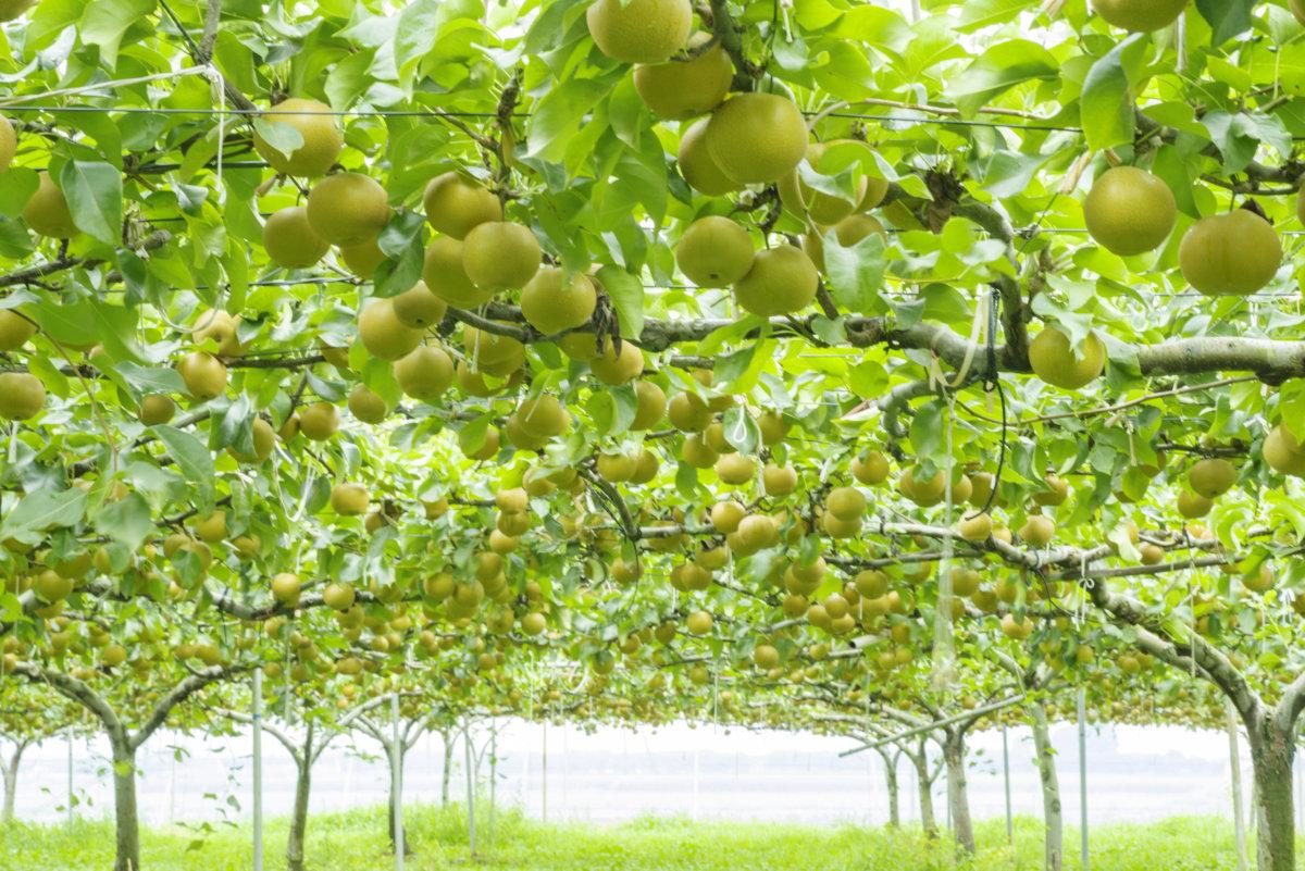 梨の大澤農園