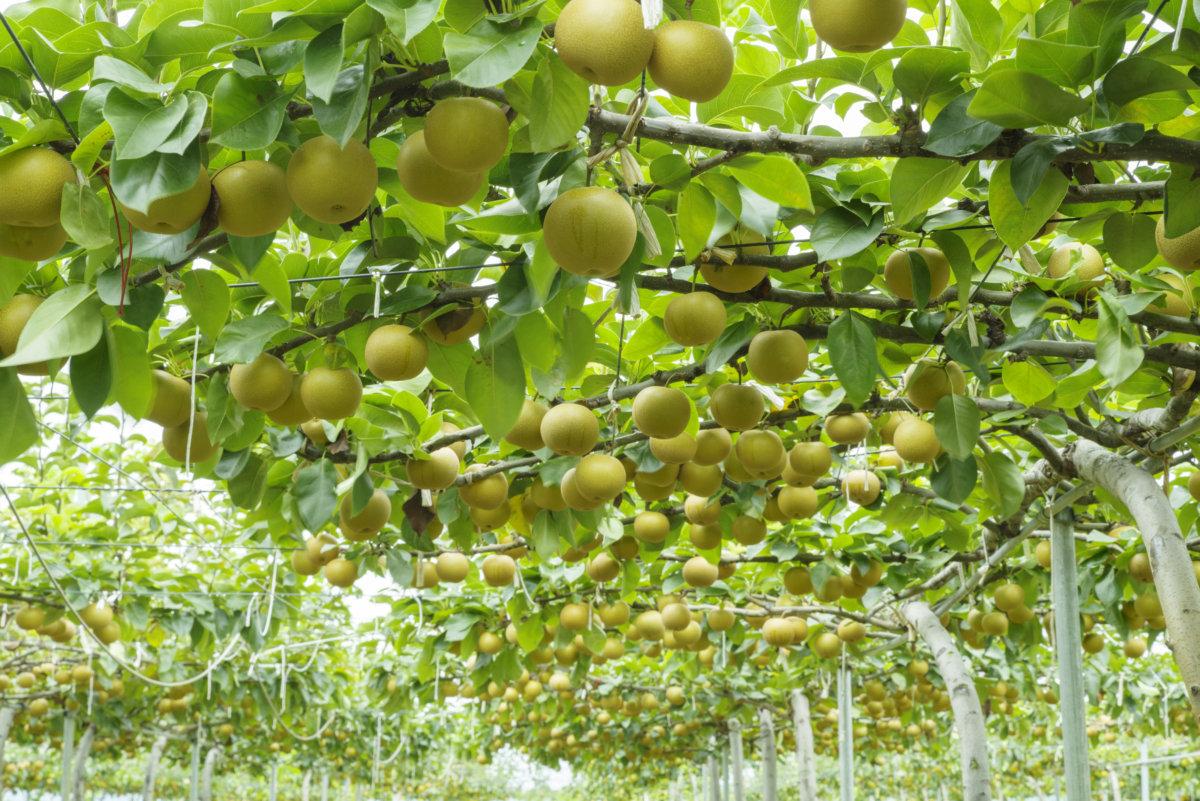 梨の大澤農園 もぎたて梨を全国発送